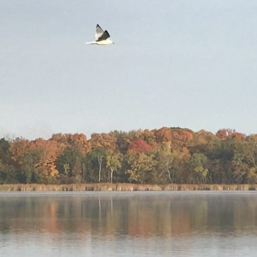 Ring Billed Gull Over Lake John – October 2017